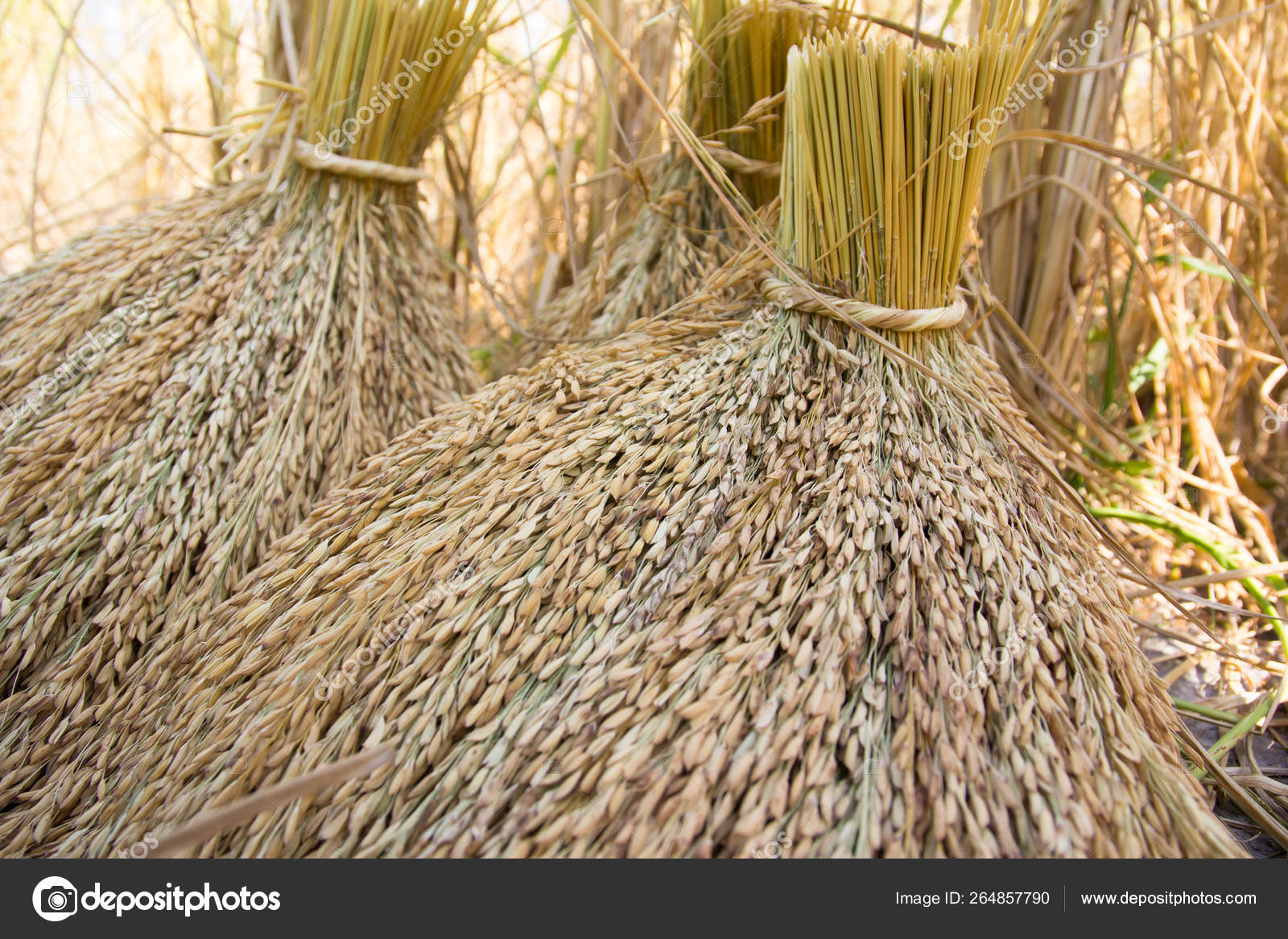 Organic paddy rice — Stock Photo © torsak #264857790