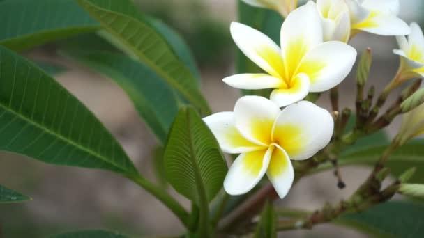 zwei weiße Plumeria Blumen Baum Hintergrund. 4k video — Stockvideo ...