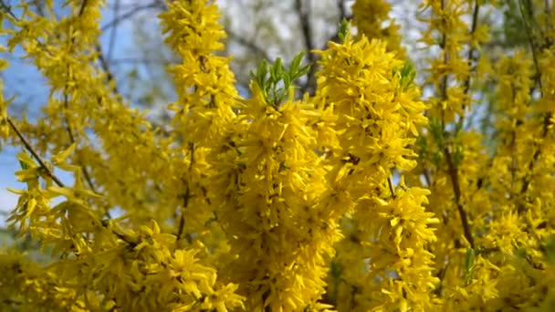 Forsythia bushes blossomed yellow flowers. Sunny spring day, the bush began to bloom yellow flowers. Beautiful bush in sunlight