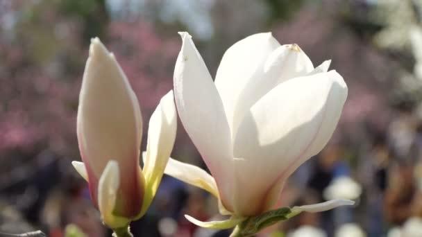 Bílá magnólie květiny na větvi stromu na pozadí modré oblohy