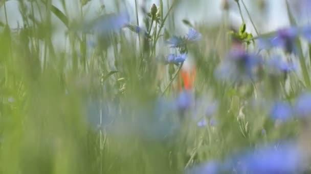 Piros Pipacsok egy Mákos zöld fű a réten