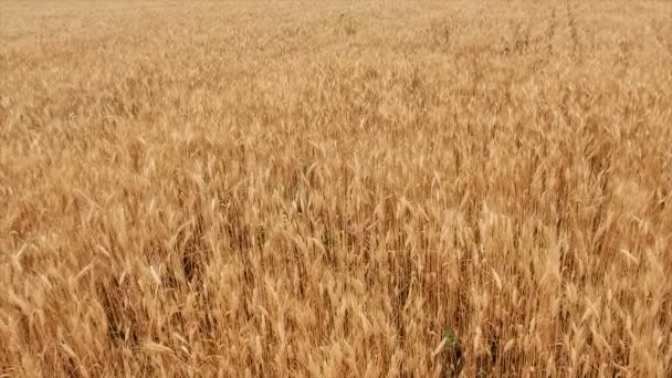 Wheat Field. Ears of wheat close up. Harvest and harvesting concept. Field of golden wheat swaying. Nature landscape. Peaceful scene. Background Health Concept 4k video
