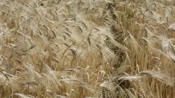 Wheat in the field. Agricultural landscape