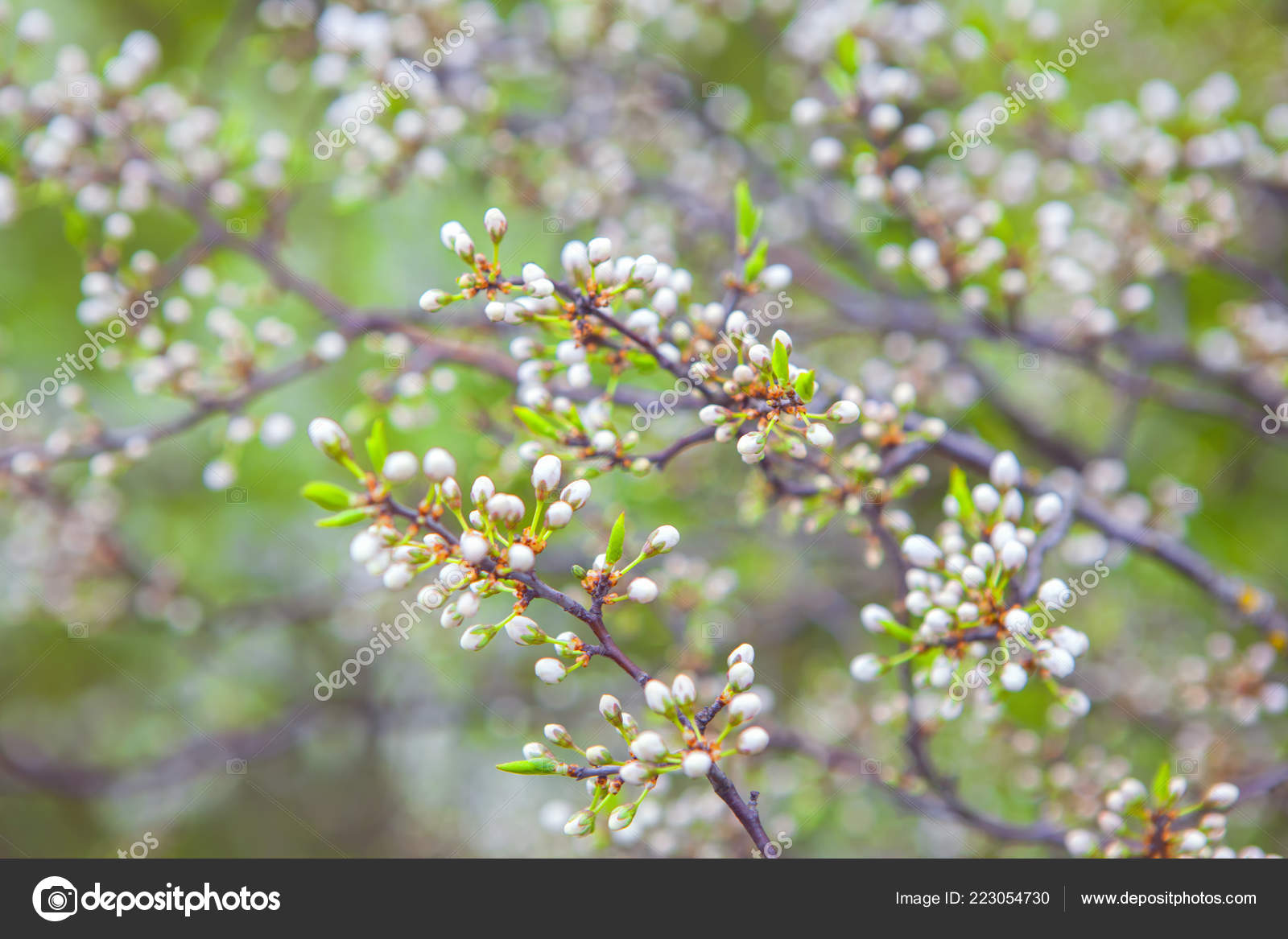 Flower Buds Spring Stock Photo Russieseo 223054730