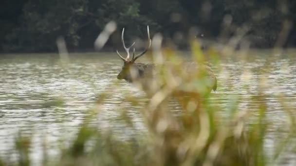 Krásná sambar (Rusa jednobarevný) jeleni procházky v lese