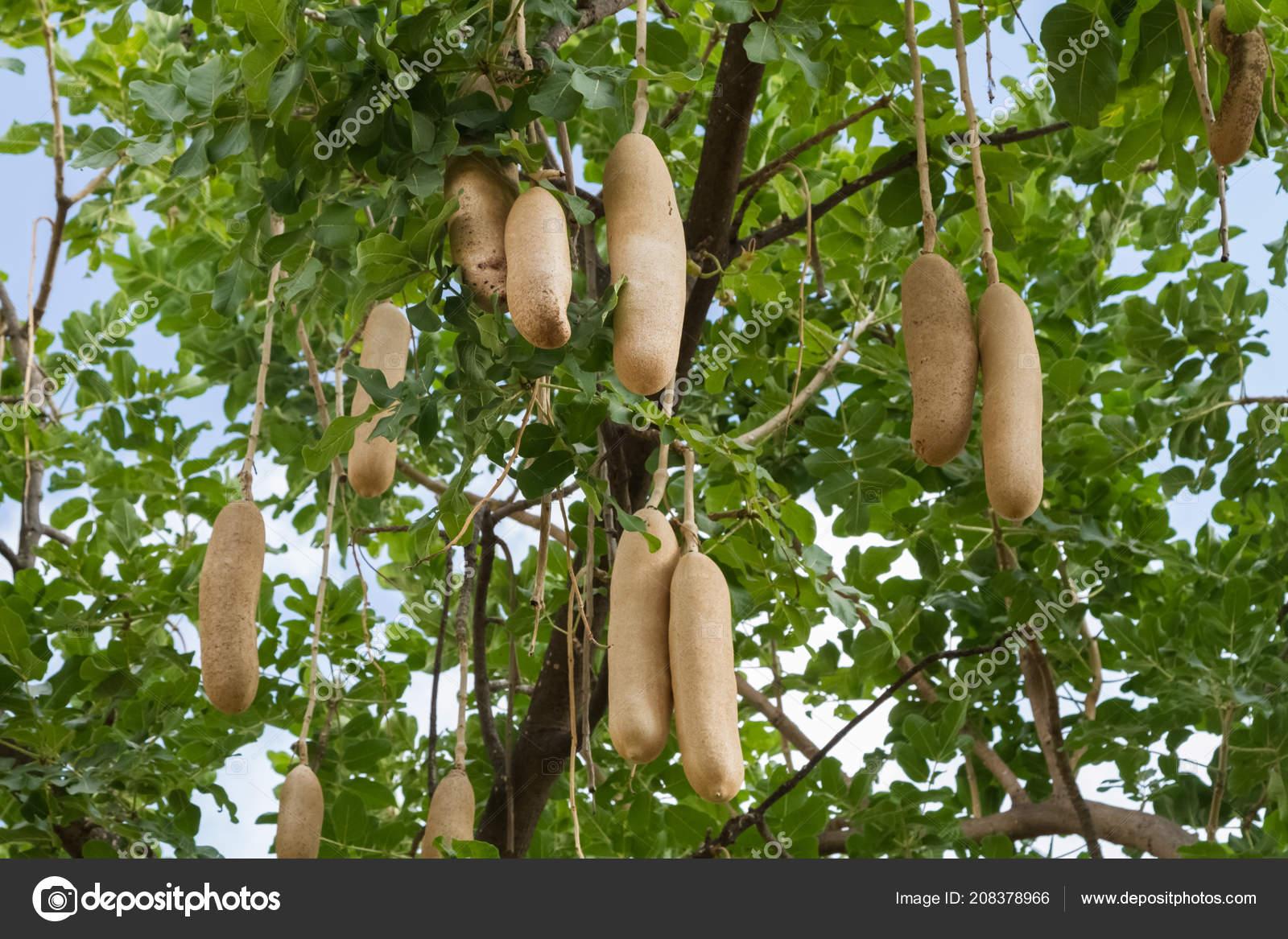 Frutti Kigela Kigelia Africana Albero Della Salsiccia Close Della