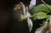 včela na květ bush-jabloni a opyluje mu