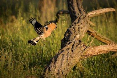 Eurasian Hoopoe or Upupa epops. Beautiful brown bird in flight entering the nest. Wildlife scene from nature.  Animal in the nature habitat.