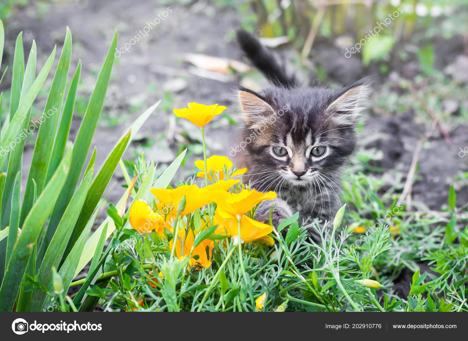 Little Kitten Garden Yellow Flowers Little Kitten Nature Goes Owner