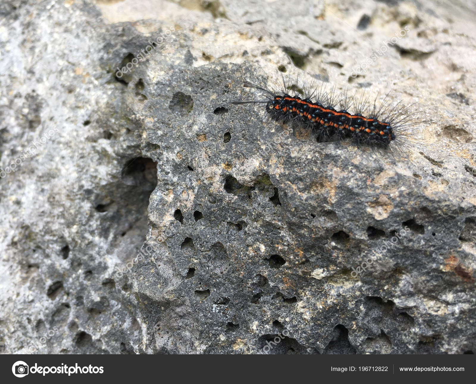 red black hairy caterpillar common anthelid moth crawling rock