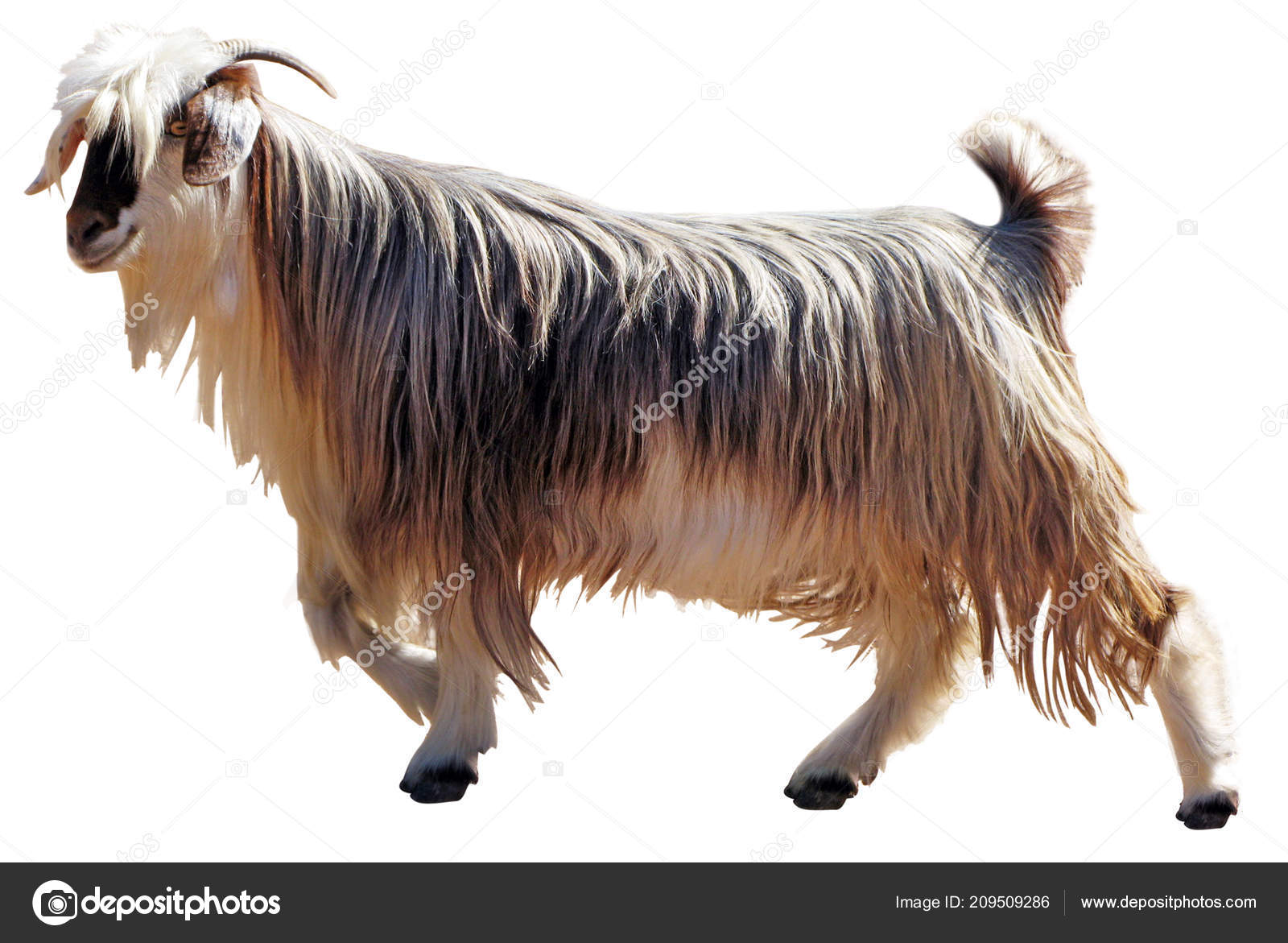 One Mountain Goat Animal Isolated White Background Copy Space
