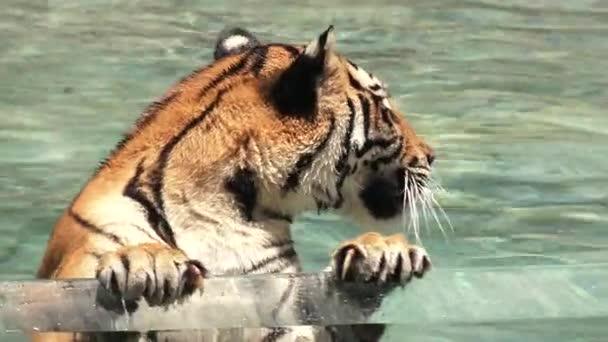Fehér bengáli tigris lehűl a vízben.