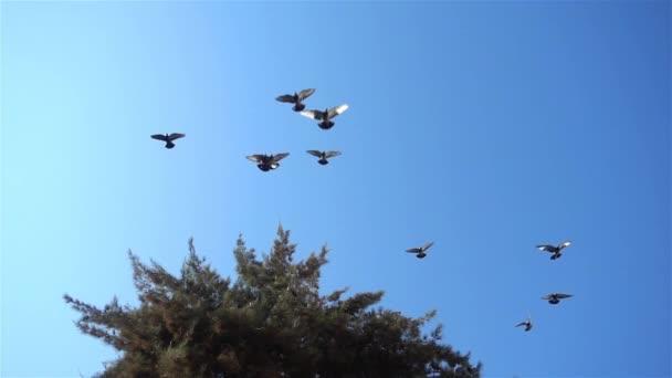 Galamb madarak etetés és repülés