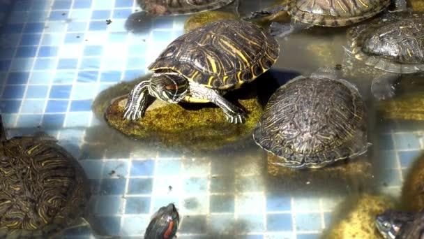 Víziteknősök pihenés és úszás a medencében. A teknősök a tóban pihennek és úsznak. Aranyos és vicces formájukban megfelelő szinkronkompozíciót hoznak létre.