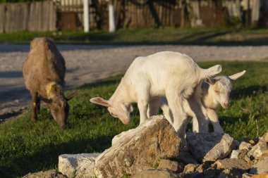 Two little kid goats - white twins having fun. Newborn goats gets acquainted with the outside world. Breeding and growing pets. Childhood goats in the household yard.