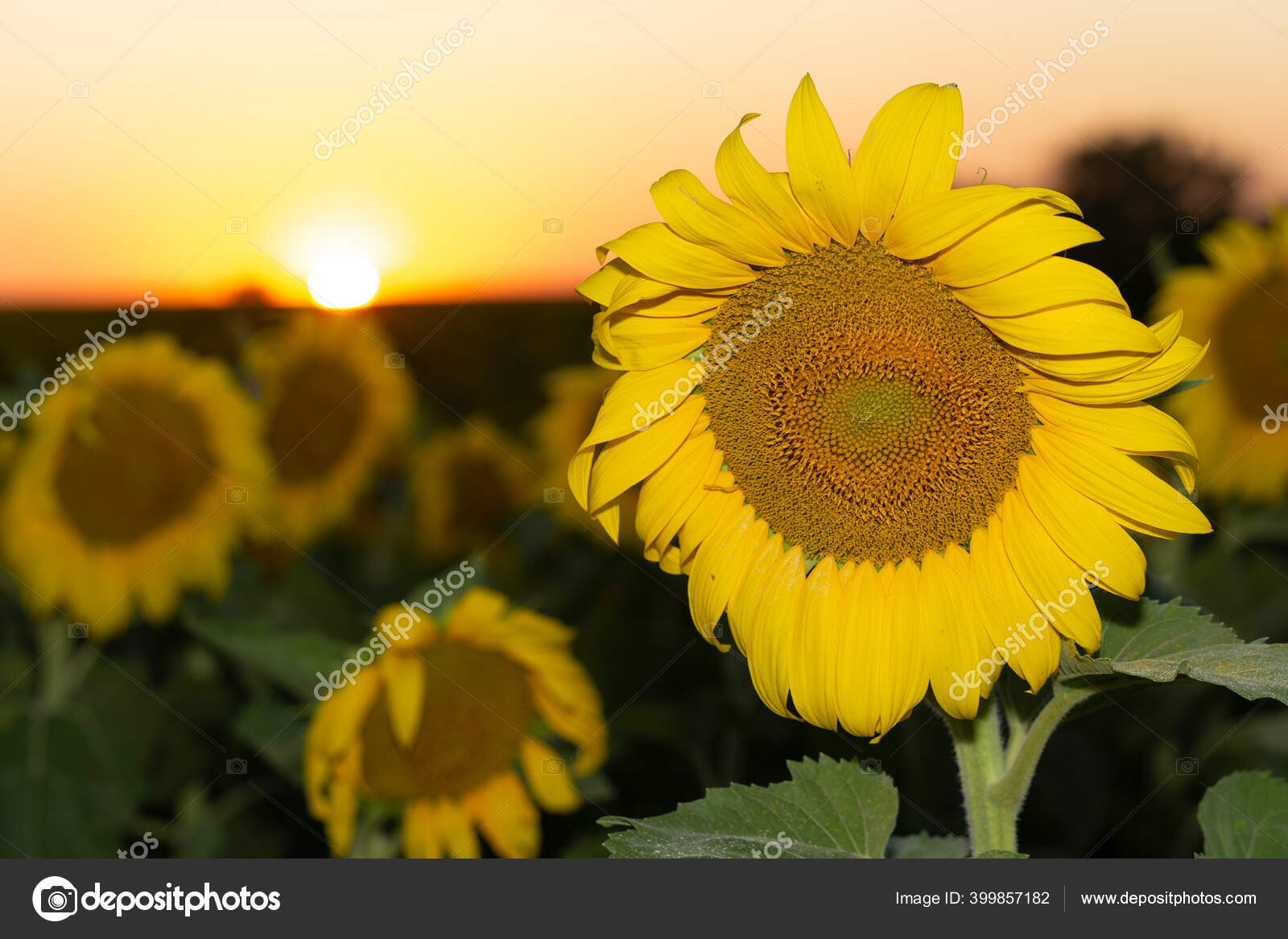 Padang Bunga Matahari Mekar Latar Belakang Matahari Terbenam Stok Foto C Piterkrig 399857182