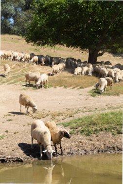 """Картина, постер, плакат, фотообои """"овцы на водопое. овцы пьют воду на берегу озера. животные пасутся на лугу. пастбища европы. постеры"""", артикул 403483676"""