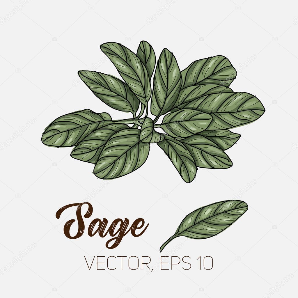 Sage, culinary herb, spices isolated on white background, card template, for book, cover, package, label, banner.