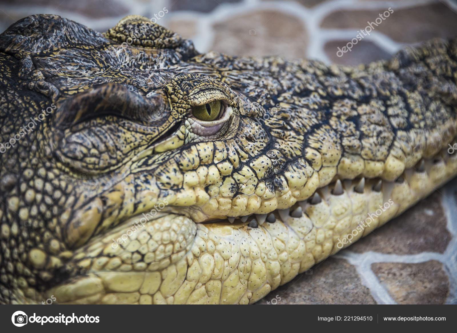 Krokodil Kopf Nahaufnahme Von Augen Und Zähne Stockfoto