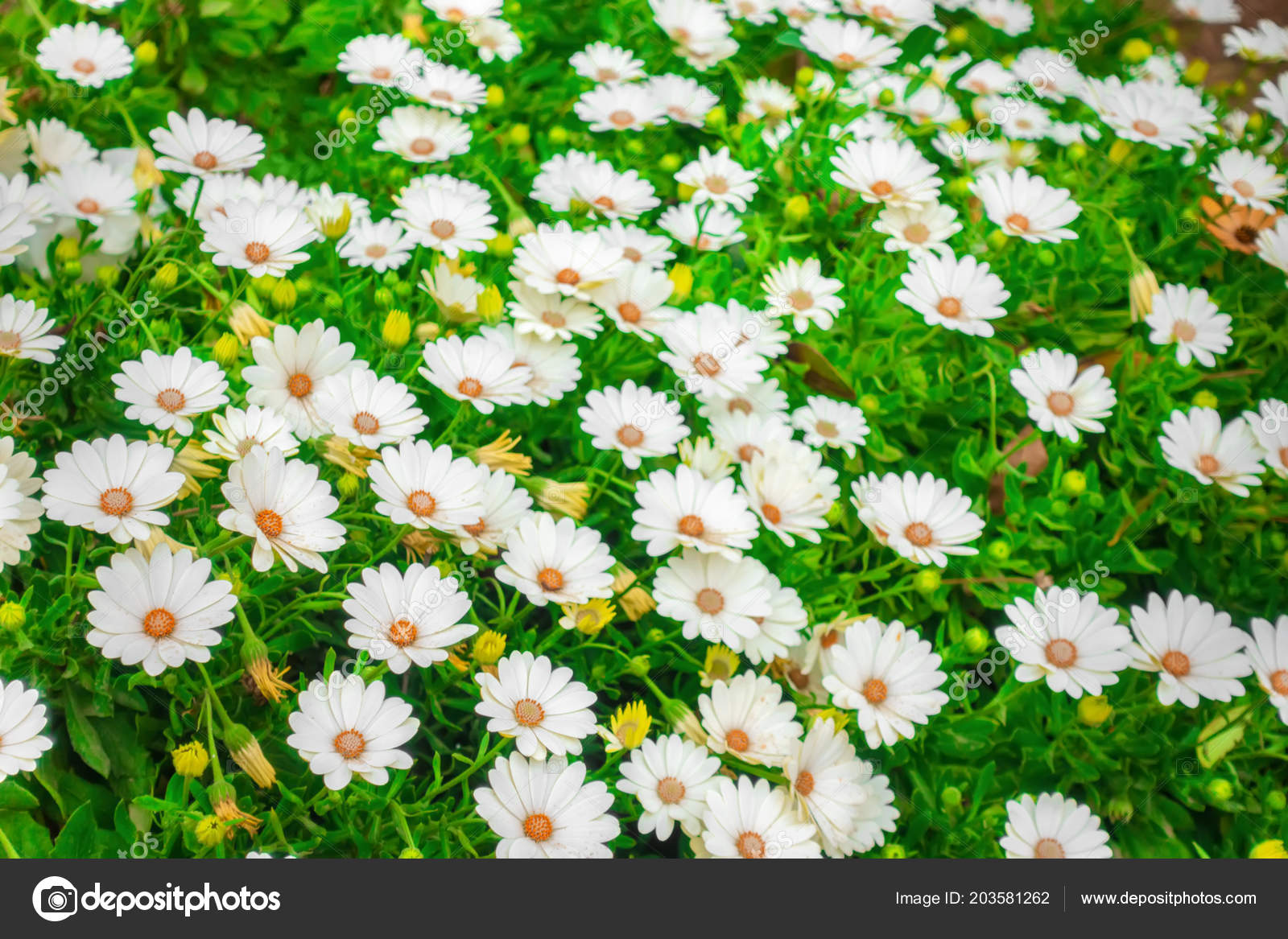 Beautiful Meadow White African Daisies Dimorphoteca Osteospermum
