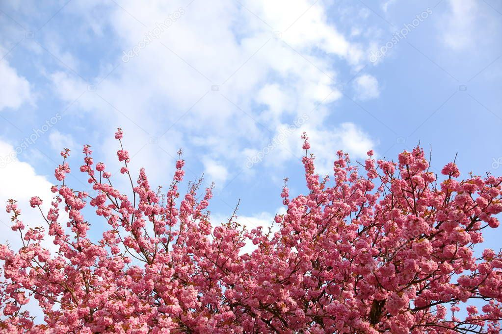 In the spring time, an apple tree blossom is decorated with pink flowers in large quantities.