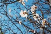 Krásné bílé květy se žlutými tyčinkami a fialové paličky na mandloň proti modré obloze na jaře, Itálie