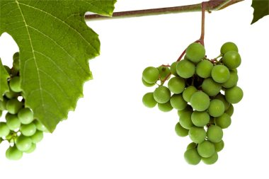 Bunches of unripe grapes on the vine isolated on a white background.