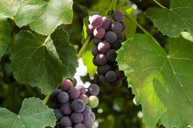 Ripening grapes of Isabella grapes illuminated by the sun. Selective focus.