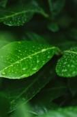 Selektivní fokus zelené listy s čůrky po dešti