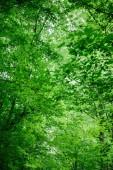 Tiefansicht von grünen Bäumen mit Blättern im Wald in Würzburg, Deutschland
