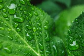 selective focus of green leaves with water drops