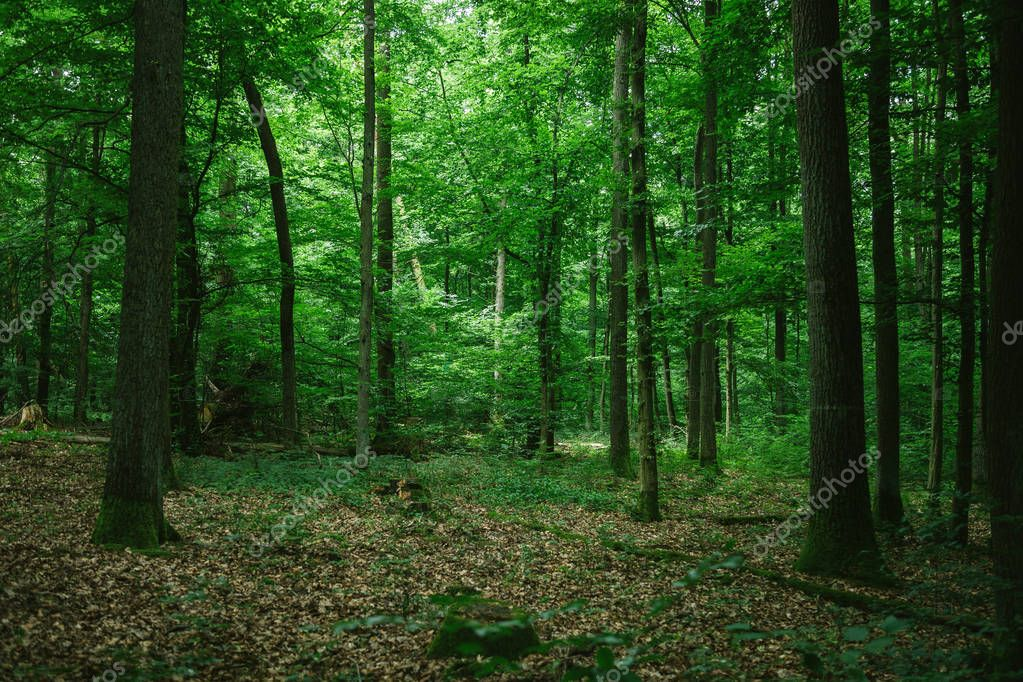 beautiful green forest in Germany in summer