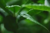 Selektivní fokus vody klesne na zelených listech