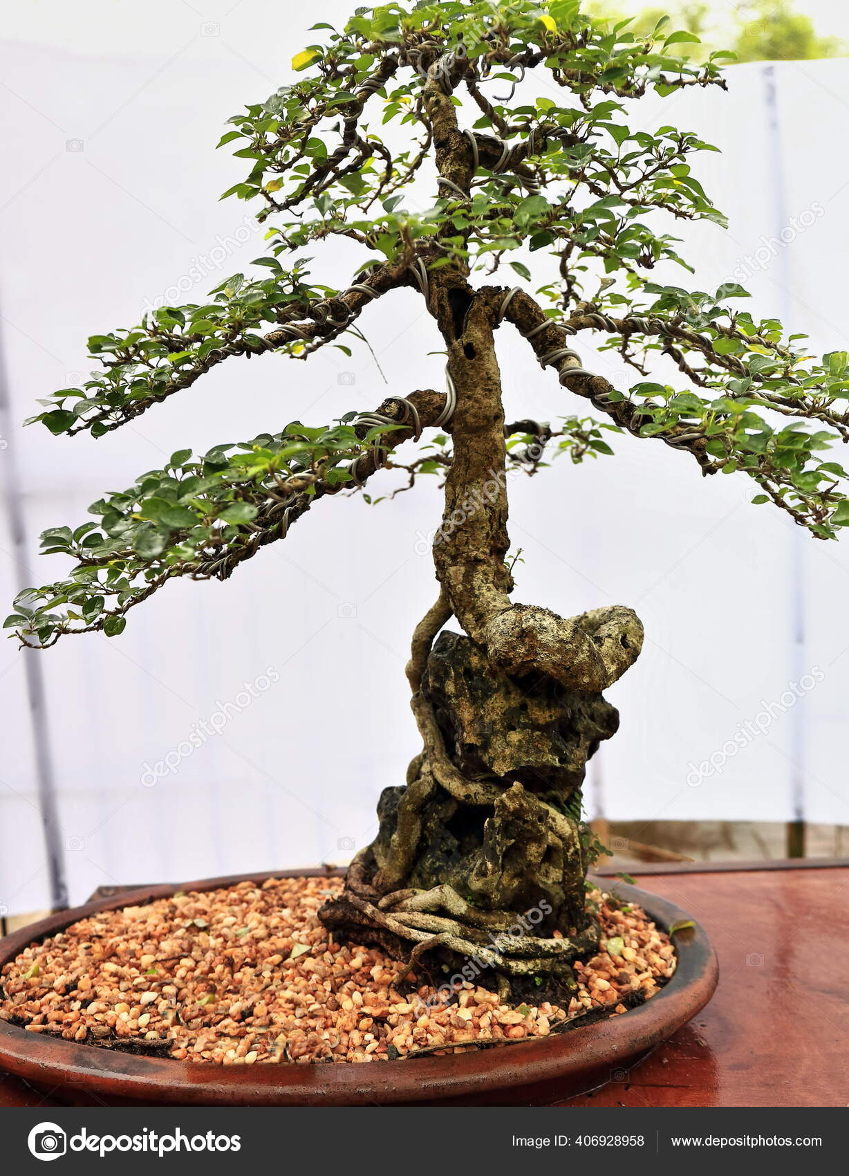 Bonsai Tray Planting Japanese Art Cultivating Small Trees Containers Mimic Stock Photo C Rweisswald 406928958