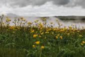 Fotografie buttercups