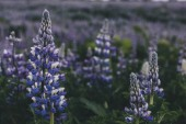 Fotografie selective focus of beautiful purple lupines in Iceland