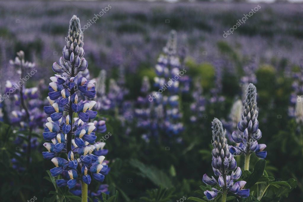 selective focus of beautiful purple lupines in Iceland