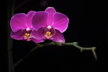 Two puple pink orchid flowers isolated at night on dark black background.