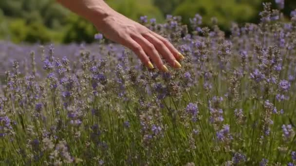 Hand touching purple flowers in lavender field