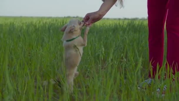 Chihuahua sütit kap a jó magaviseletért.