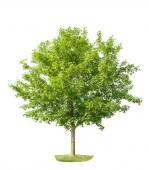 Zelený mladý javorový strom izolovaných na bílém pozadí. Charakter objektu