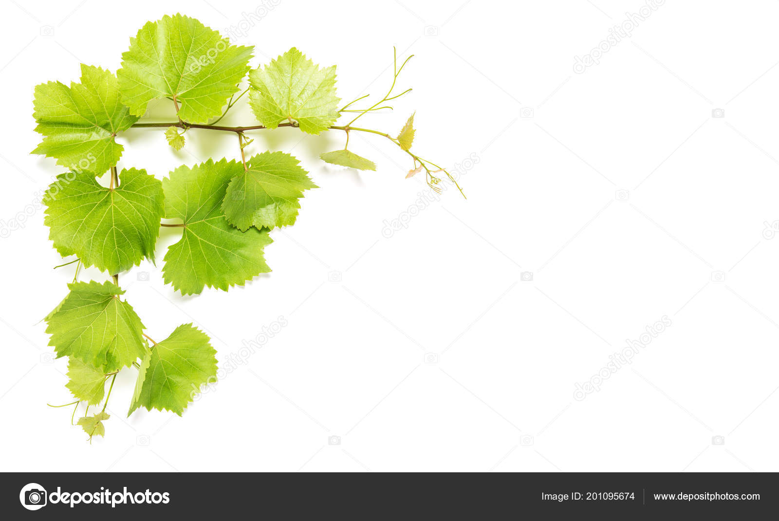 Vine Leaves White Background Shadow Green Grape Leaf Floral Border Stock Photo Image By C Liligraphie 201095674