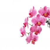 orchidea virág elszigetelt fehér háttér