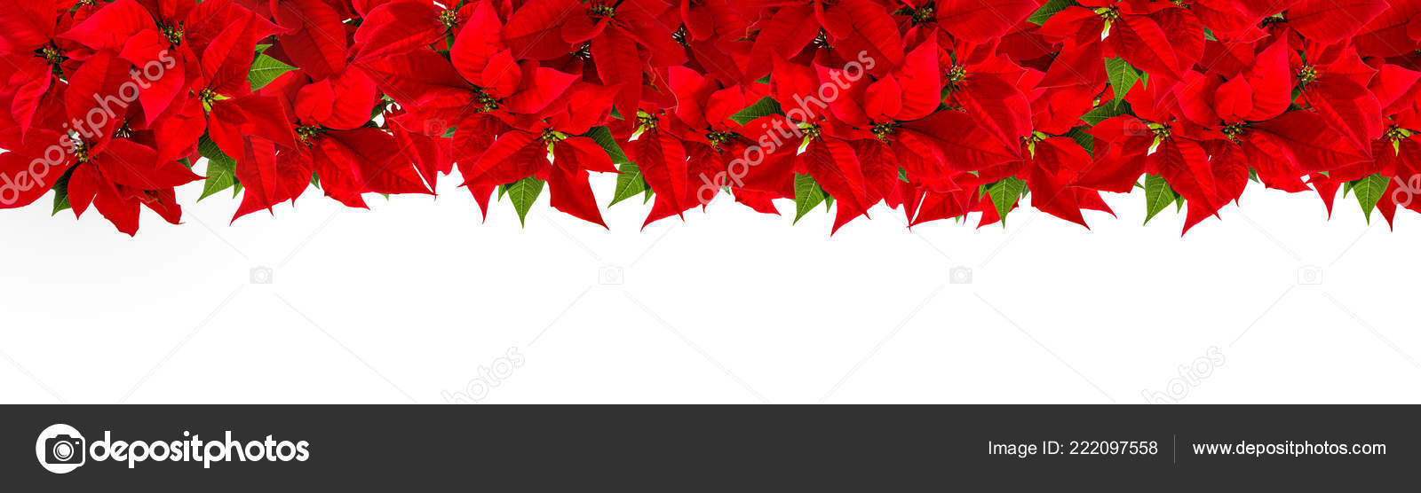 Red Christmas Flower.Christmas Red Flower Poinsettia White Background Floral