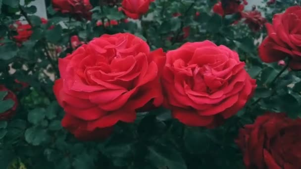 HD Cinematic red rose buds flowers dark green leaves branch fluttering in the wind in the park garden outdoors. Background of many red roses are blooming cinematic colors effect.Big open rose flowers.