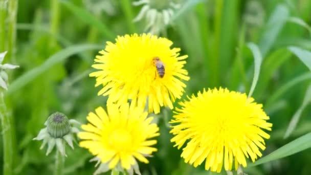 Včela sbírá nektar nebo med na žluté pampelišce. Záběry 4k