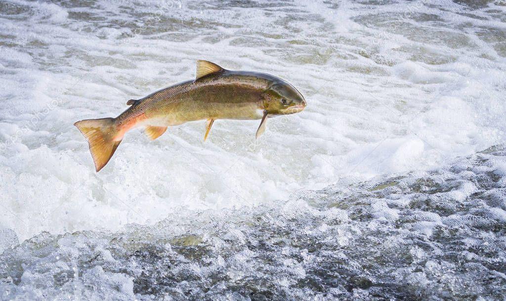 Atlantic salmon jumping