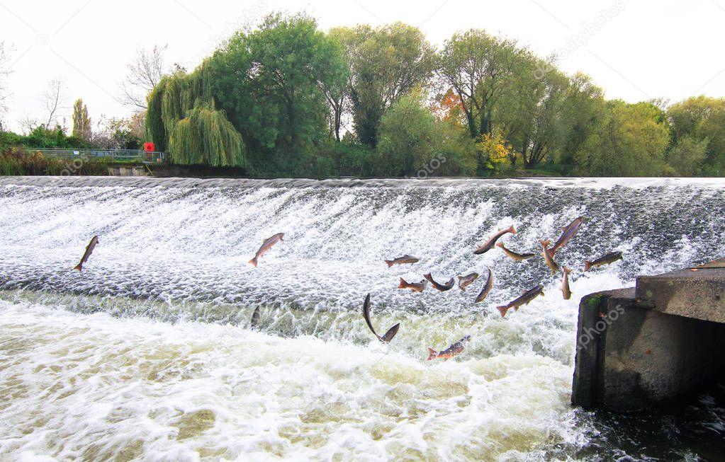 Atlantic salmon (Salmo salar) jumping at a weir in England