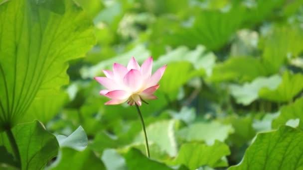 Lótusz virág virág
