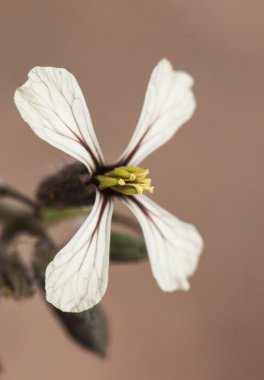 Eruca vesicaria rocket edible plant of beautiful flowers with four white petals cream with red nerves